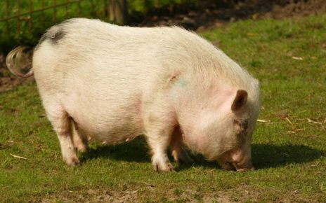 Philippine Government Delivers 1,000 Hogs To Help Residents