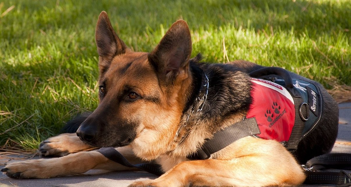 UK launches £500,000 COVID-19 detection dog trials