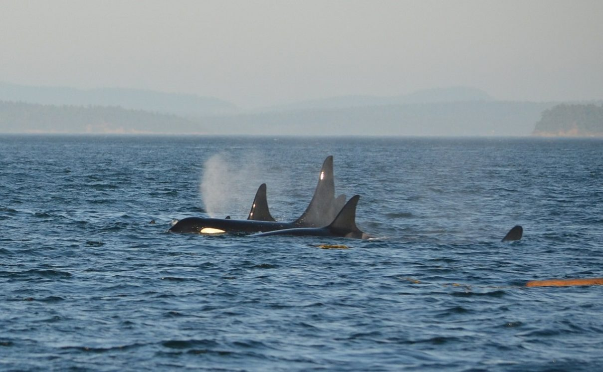 2nd Year In A Row Canada Steps Up Efforts To Protect Whales