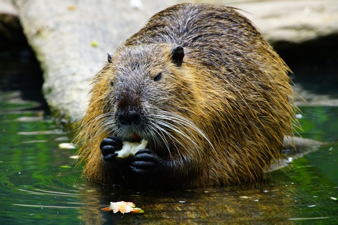 In five years, 2 Beaver families created 28 Dams in 15 territories