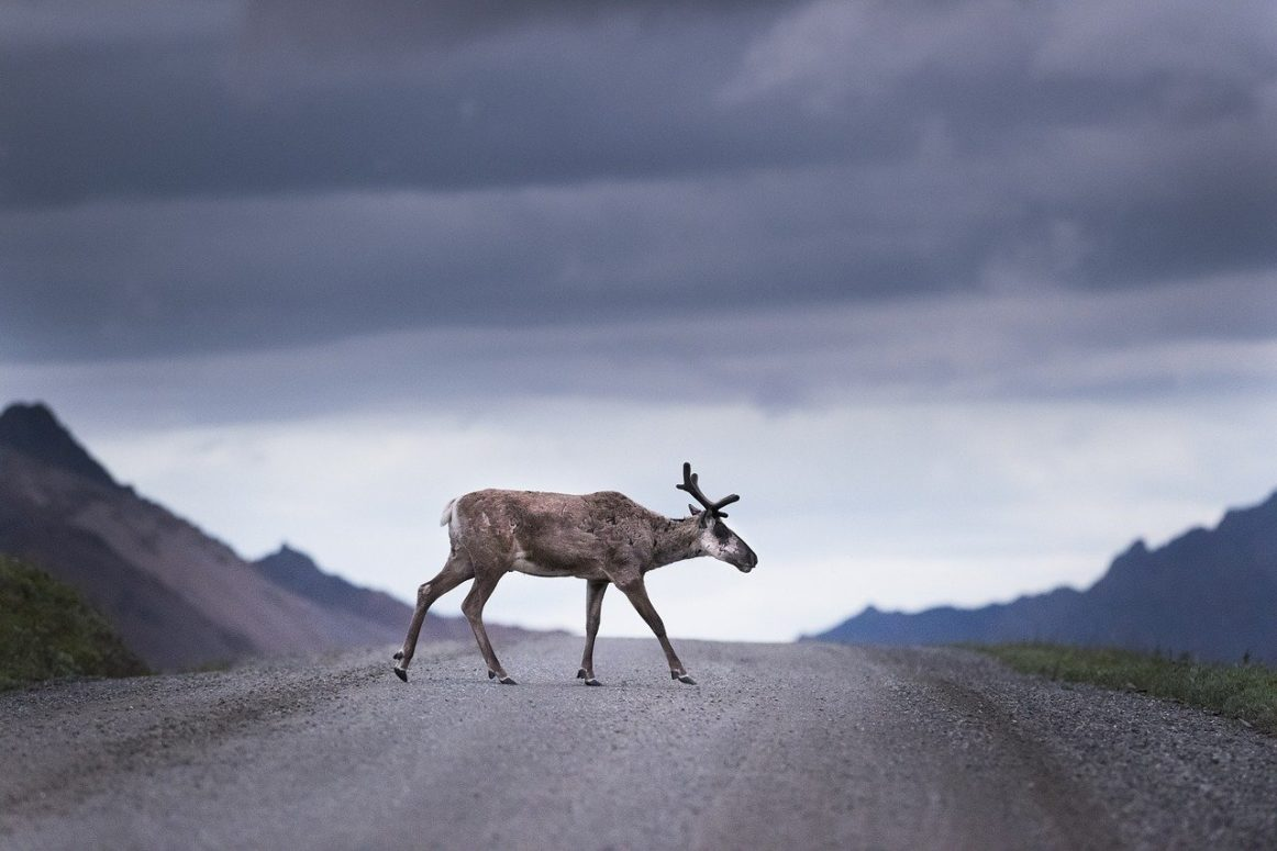 Canada and Alberta Reach Deal to Protect Endangered Caribous