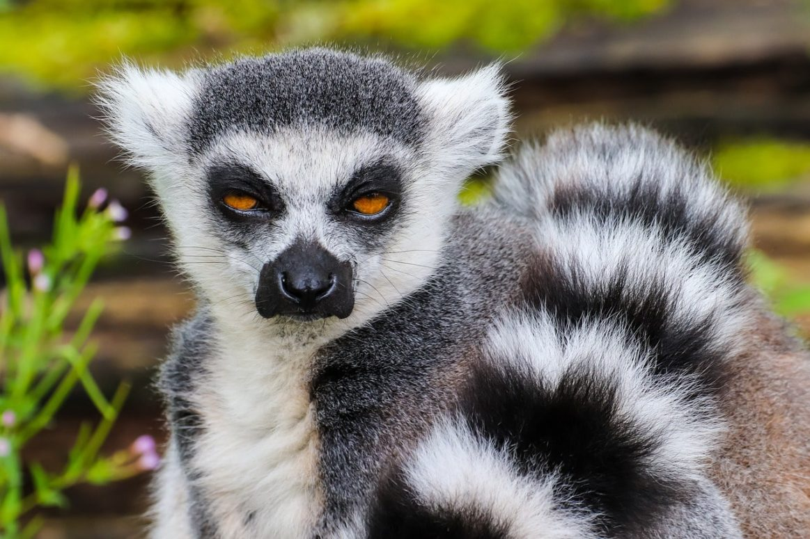 5,000 Lemurs And Tamarins Are The Most Popular Primate Pets In The UK